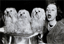 Tallulah mugs with three prize-winning Maltese at the 1951 Dog Show at Madison Garden
