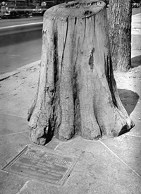 What remains of The Tree of Hope in front of the old Lafayette Theatre, ca. 1935